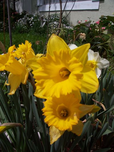 Daffy-dills of spring 003